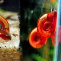 Hiasan aquascape ramshon snail/keong terompet pembasmi lumut