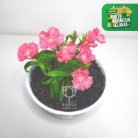 Anyelir Dianthus Baby Doll Pink