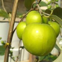 Bibit Apel India / Putsa - Tanaman Buah Hidup sudah berbuah