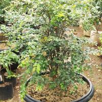 Bibit tanaman Buah Anggur Pohon / anggur brazil ()