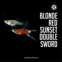 Ikan Guppy Blonde Red Sunset Double Sword Swasti