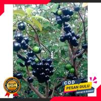Bibit anggur pohon brazil preco