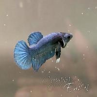 Ikan Cupang Betta HMPK Royal Blue BBL 01-Female BAGUS