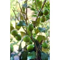 Bibit Tanaman buah Apel Putsa sudah berbuah