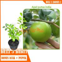 Bibit Tanaman buah Apel Putsa / Apel India siap berbuah