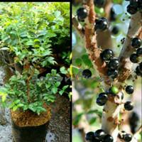 Bibit Tanaman buah Anggur Brazil/Pohon beli 2 gratis bibit anggur