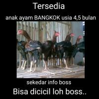 jual anak ayam Bangkok umur 4-5 bila trah pakhoy