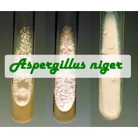 Biakan Aspergillus niger Murni