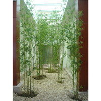 Tanaman Hias Bambu Cina Hijau 60cm