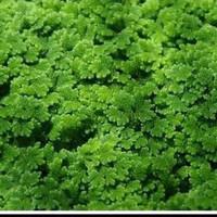 Bisa COD Tanaman Air - Azolla Microphylla