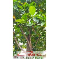 Bibit Tanaman Pohon Mengkudu Noni Pace Tanaman Obat Herbal MKD-5060