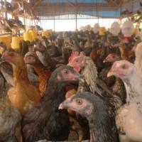 Ayam kampung asli hidup