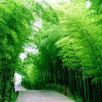 Benih Bambu / Bamboo China