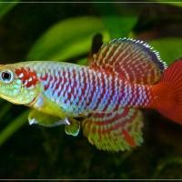 Telur Ikan Killi (Killifish) Nothobranchius Guentheri Red