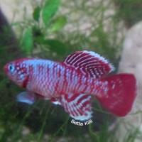 Telur Ikan Killi (Killifish) Nothobranchius Eggersi Red (Killifish)
