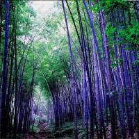 Benih Bambu Ungu Impor / Purple Bamboo China Seed Import
