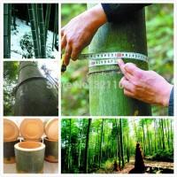 Benih Bambu Raksasa Impor / Giant Bamboo China Seed Import