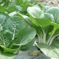 Benih Sayur Pak Choy Vegetable Panan Sayurmu Secara Organik
