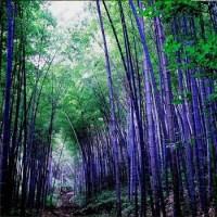 Benih Bibit Biji Bambu Hitam / Purple Timor Bamboo 100% True Seeds