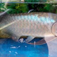 Arwana Banjar Red/ Arowana Banjar Ekor Kuning 51cm bluebase semok top