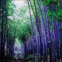 Bibit Biji Bambu Hitam / Purple Timor Bamboo 100% True Seeds