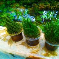 Hairgrass Cup Tanaman Aquascape