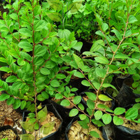Bibit pohon bidara arab (obat herbal)