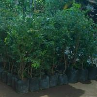 bibit tanaman buah anggur brazil / anggur pohon