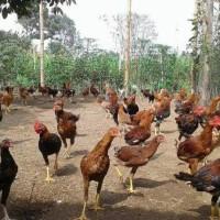 ayam joper hidup/krakas siap kirim seluruh indonesia