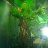 Tanaman Aquarium-AquaScape Akar Most Jadi