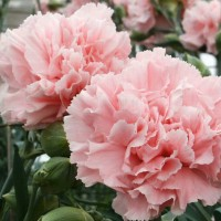 Bibit Bunga Carnation / Bunga Anyelir