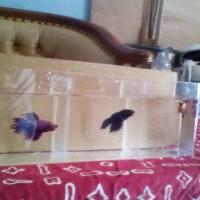 aquarium dinding ikan cupang sekat 3