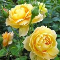Benih Bibit Biji Bunga Mawar Yellow Austin
