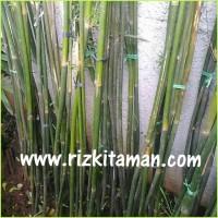 Tanaman Pohon Bambu Cina China,Telisik hijau, kelisik hijau