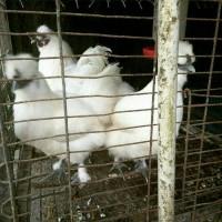 Sepasang Ayam Kapas Super Umur 5 Bulanan