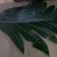 Daun kluwih segar Keluwih (Ingg: seeded breadfruit, breadnut)