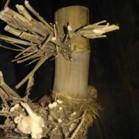 Bambu pethuk petuk antik banget ketemu ruas