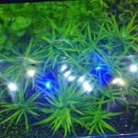 Star grass rock aquascape akuarium
