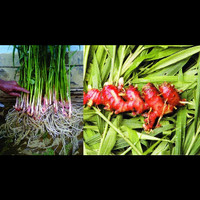 Bibit Tanaman Obat Herbal Jahe Merah Unggul