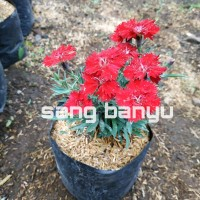 Bibit tanaman dianthus merah anyelir