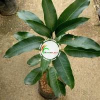 Bibit Pohon Mangga Arum Manis - Tanaman Buah Mangga Harum Manis