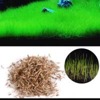 Bibit Benih Cow Leaf Grass Carpet Seed Aquascape Aquarium Plant Seed
