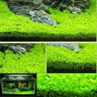 Bibit Benih Big Leaf Grass Carpet Seed Aquascape Aquarium Plant Seed
