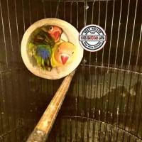 Glodok bambu Lovebird atau Glodok setan