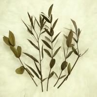 Small stem preserved leaves eucalyptus parvifolia foliage daun awetan