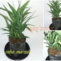 Bibit tanaman jahe merah herbal toga