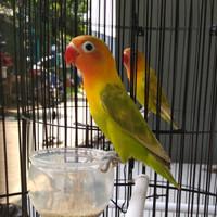 Lovebird - Baby Prospek Solo 10-15dtk