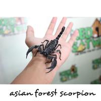 Asian Forest Scorpion Kalajengking -Kedai Satwa