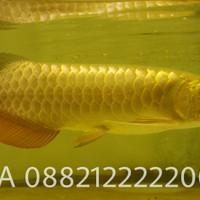 arwana golden crossback bakat 24k arowana red tail xback