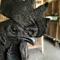 Ayam Jantan Cemani Black Born